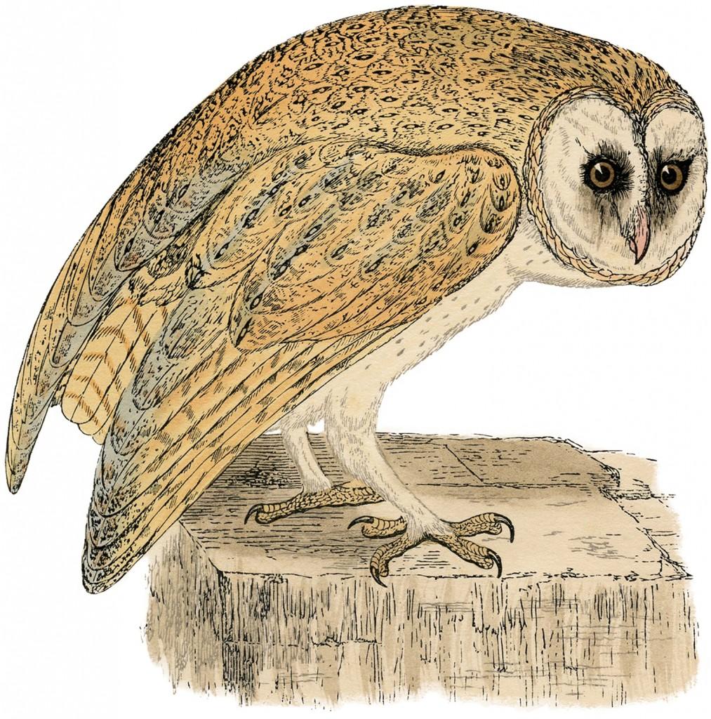 Natural History Owl Image