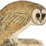 Natural-History-Owl-Image-GraphicsFairy-thumb