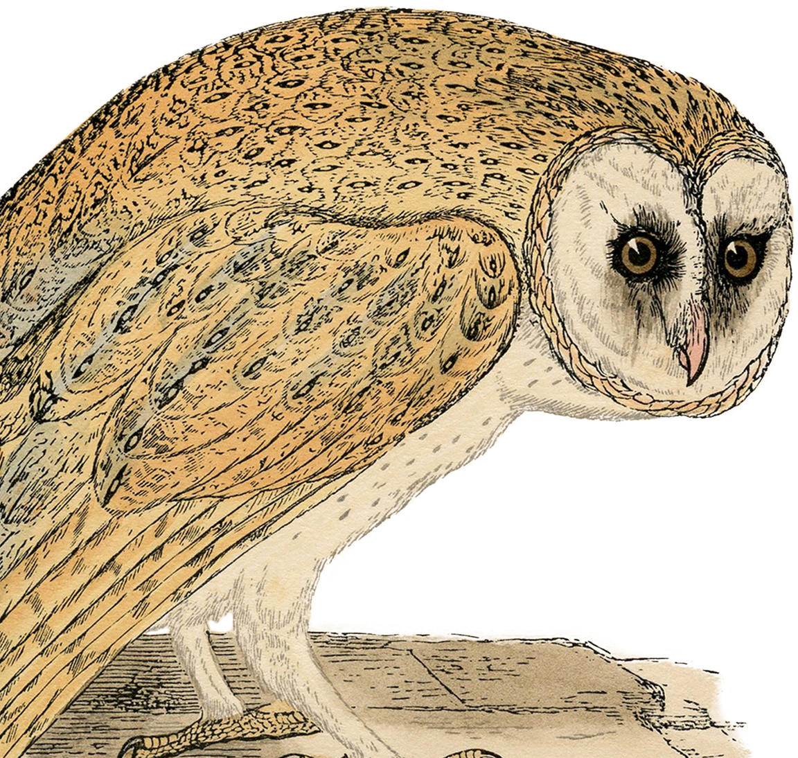Natural History Owl Print The Graphics Fairy