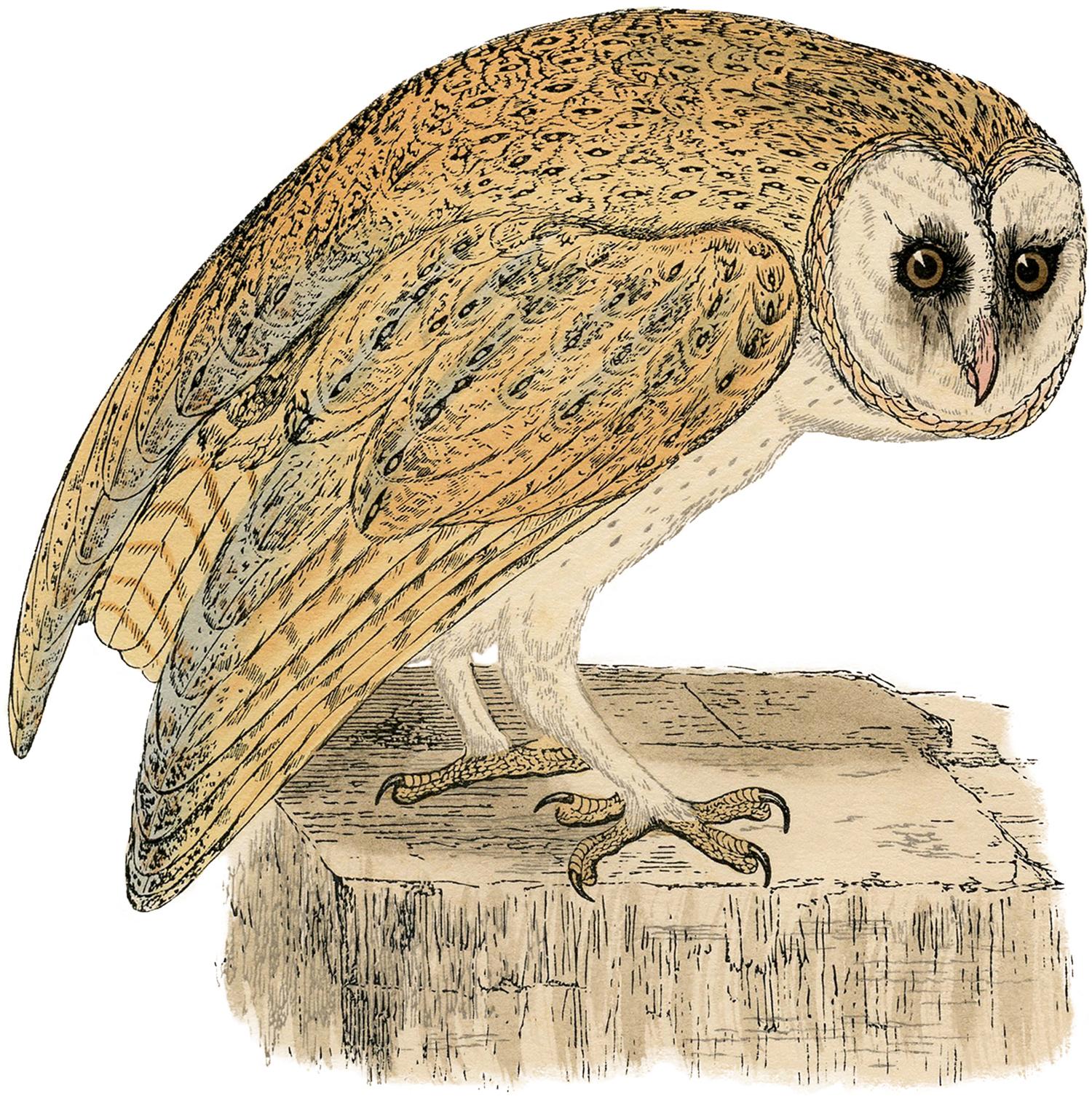 Natural History Owl Print