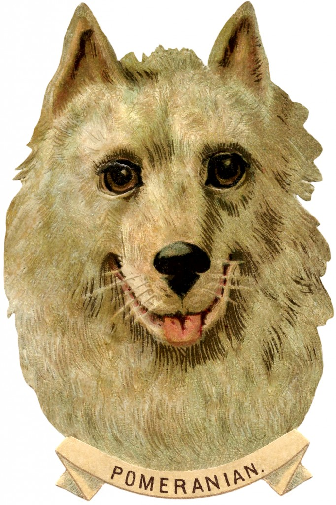 Pomeranian Dog Image