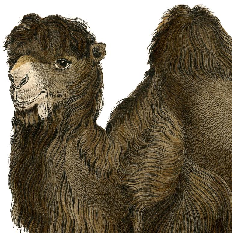 Fantastic Vintage Camel Image The Graphics Fairy