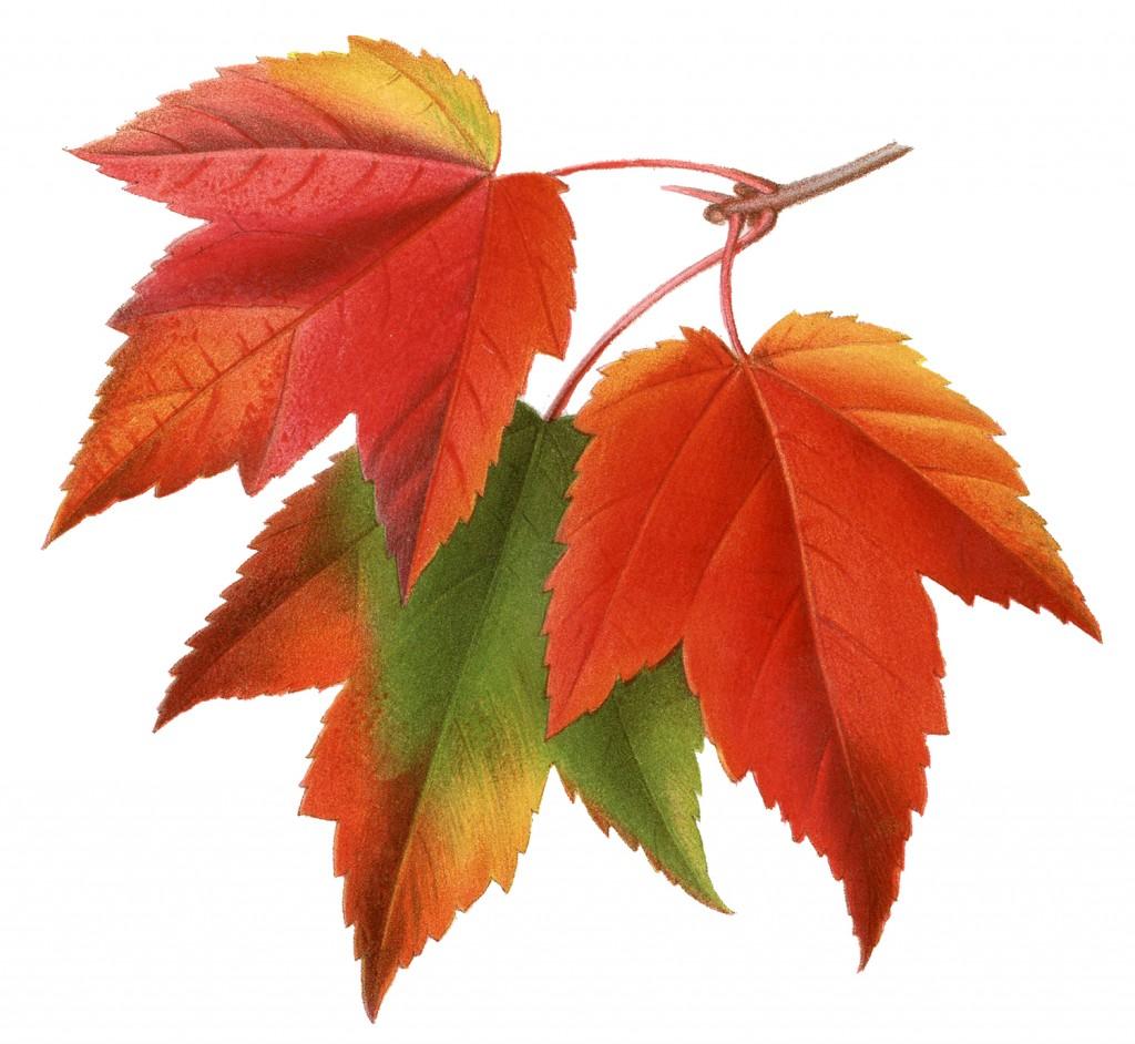 Vintage Maple Leaves Image
