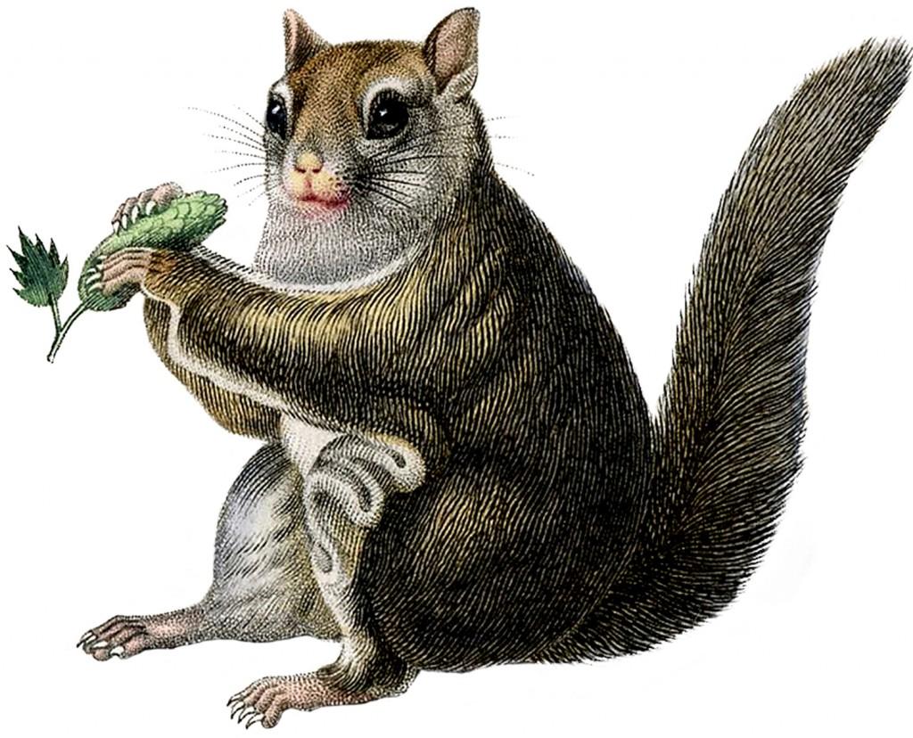 Vintage Squirrel Image