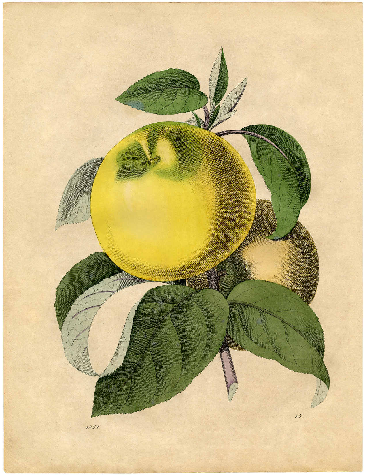Free Botanical Art Prints - Apples - The Graphics Fairy