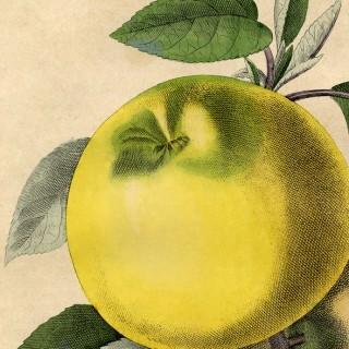 Free Botanical Art Prints – Apples