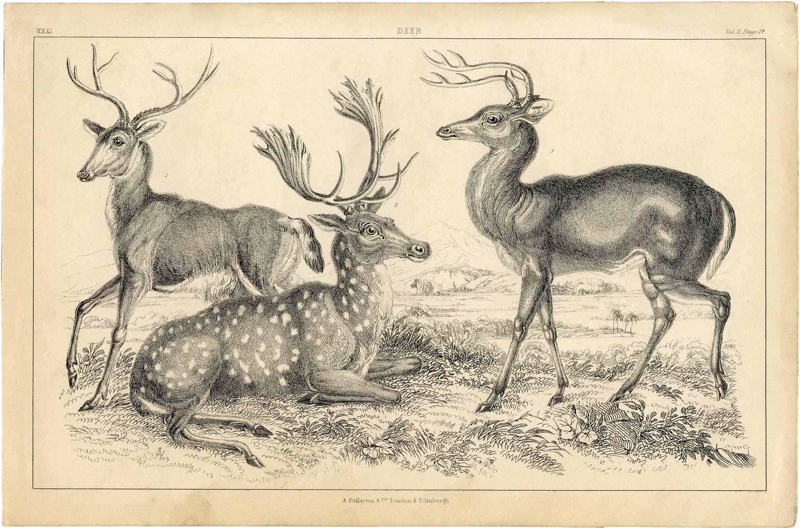 Free Deer Printable - Natural History - The Graphics Fairy