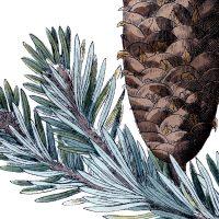 Free Pine Cone Picture