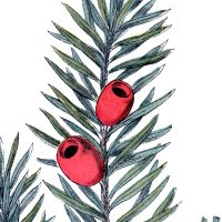 Holiday Branch Image Yew