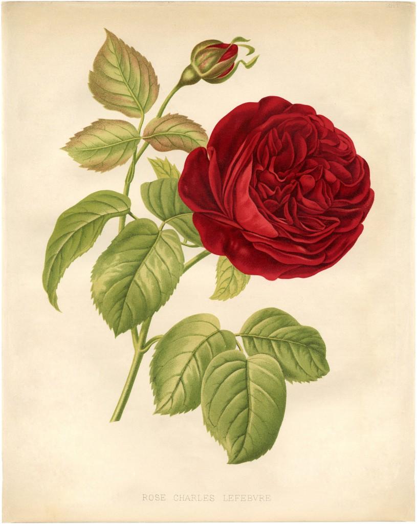 Red Rose Botanical Printable