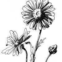 Free Daisy Drawing