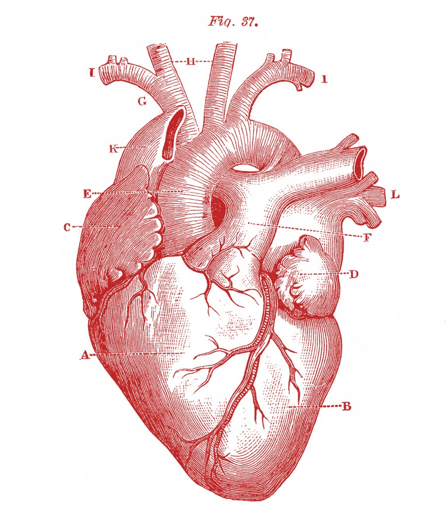 Royalty-Free-Images-Anatomy-Heart-GraphicsFairy-red1-904x1024.jpg (904×1024)