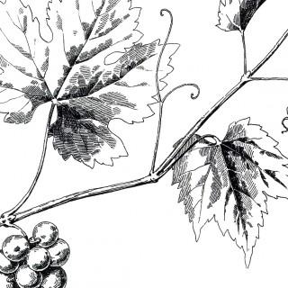 Vintage Grapevine Image