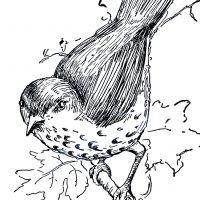 Bird Illustration Thrush