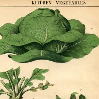 Botanical Printable Cabbage