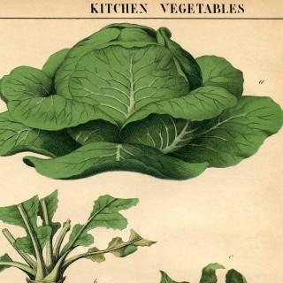 Botanical Printable Cabbage
