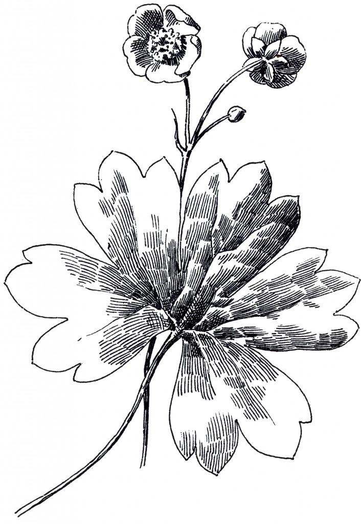 Buttercup Flower Image