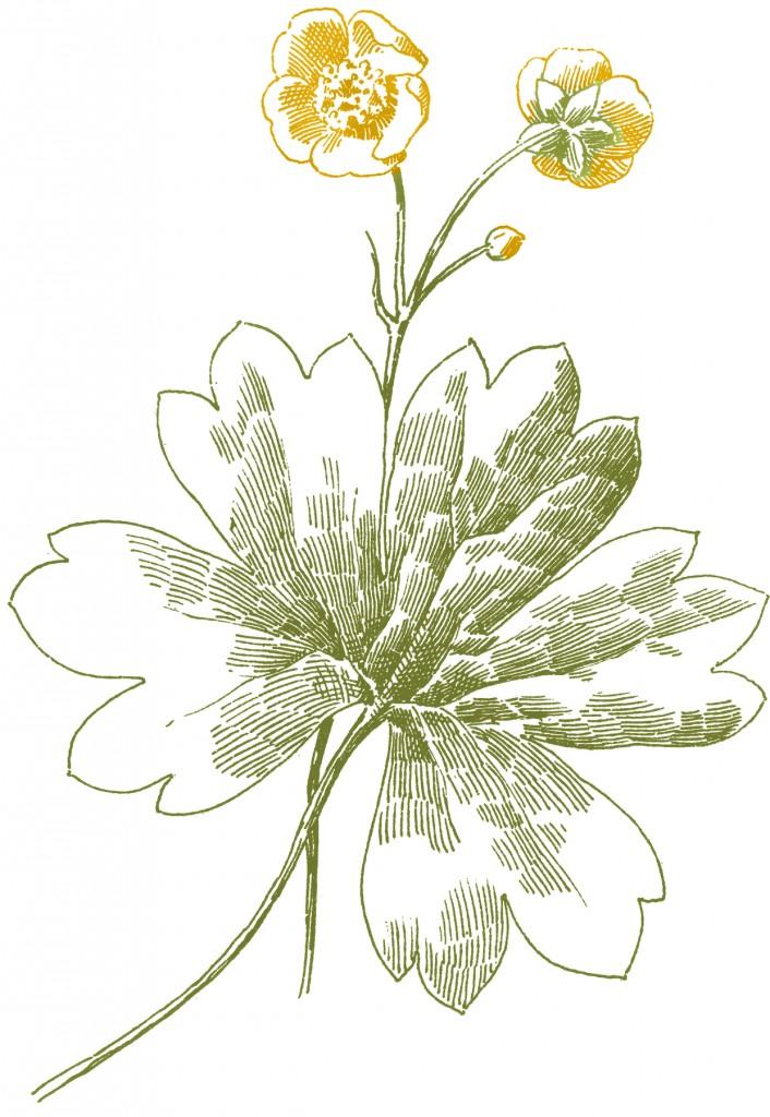 Buttercup Flower Images