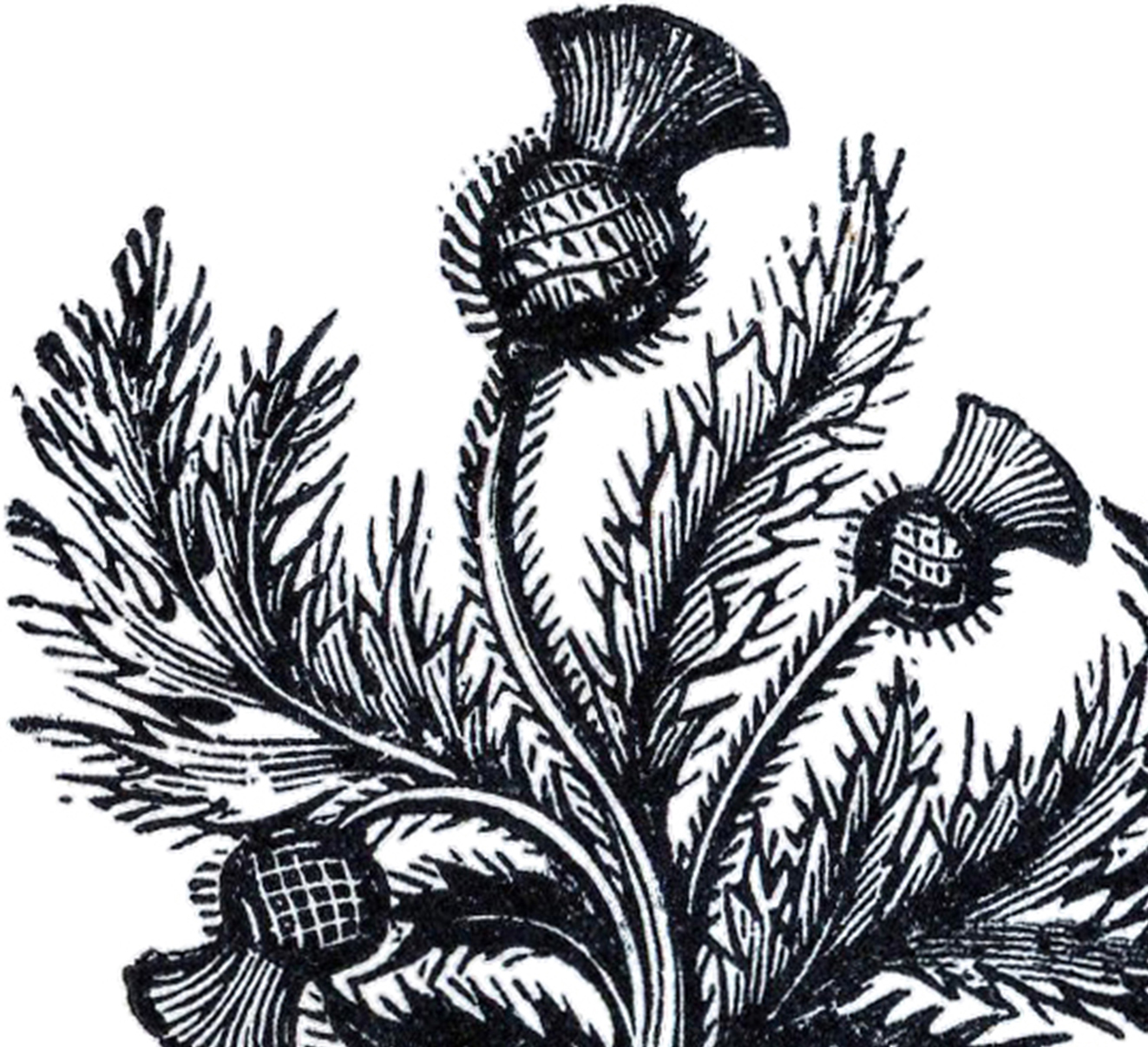 public domain thistle image the graphics fairy