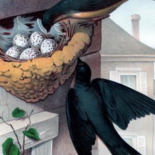 Barn Swallows Printable