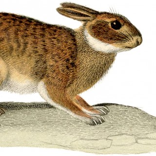 Natural Rabbit Image