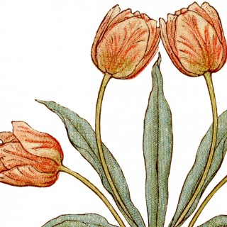 Vintage Tulips Illustration