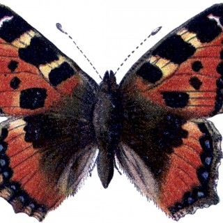 Natural History Butterfly Image