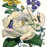 flowers+botanical+1855-graphicsfairy2