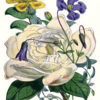 flowers+botanical+1855-graphicsfairy2
