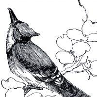 Blue Jay Drawing