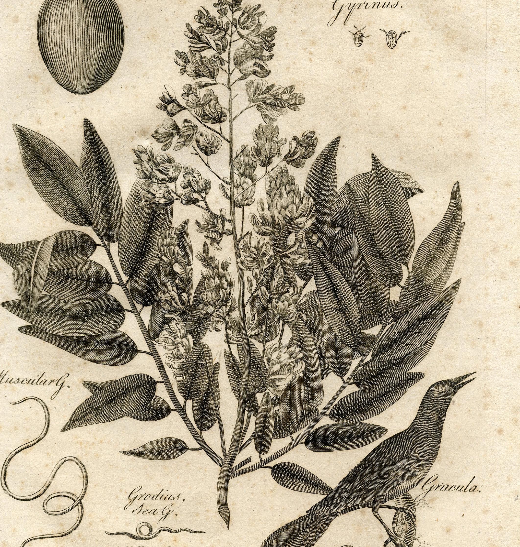 Gnome Garden: Fabulous Early Botanical Printable! Botany