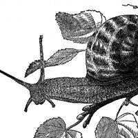 Free Public Domain Snail Images