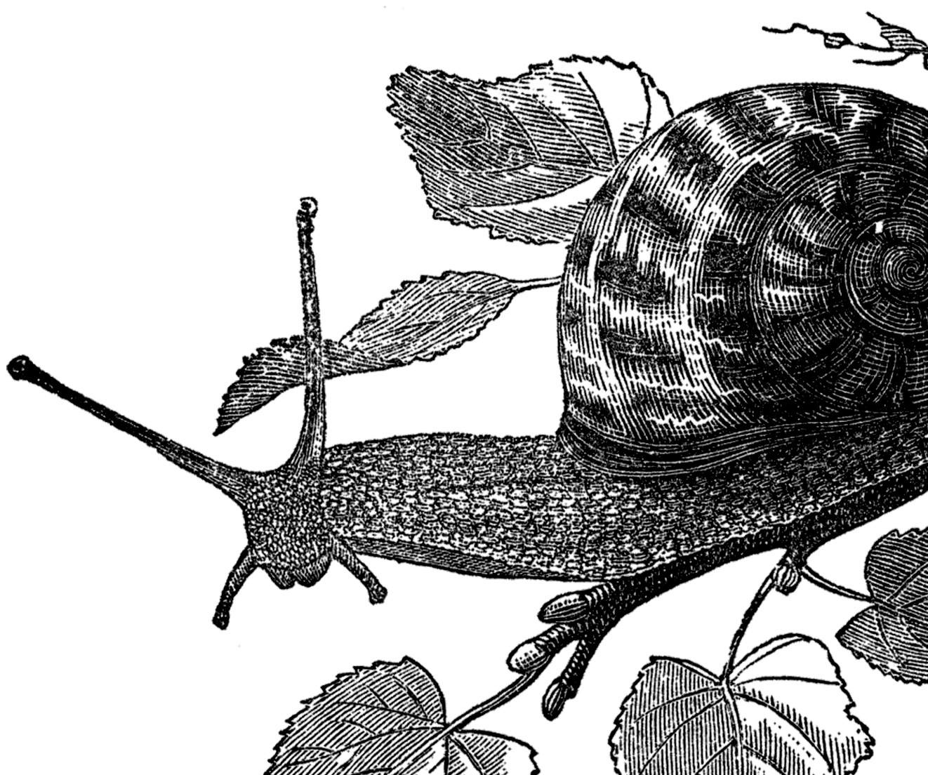 Free Public Domain Snail Images - The Graphics Fairy