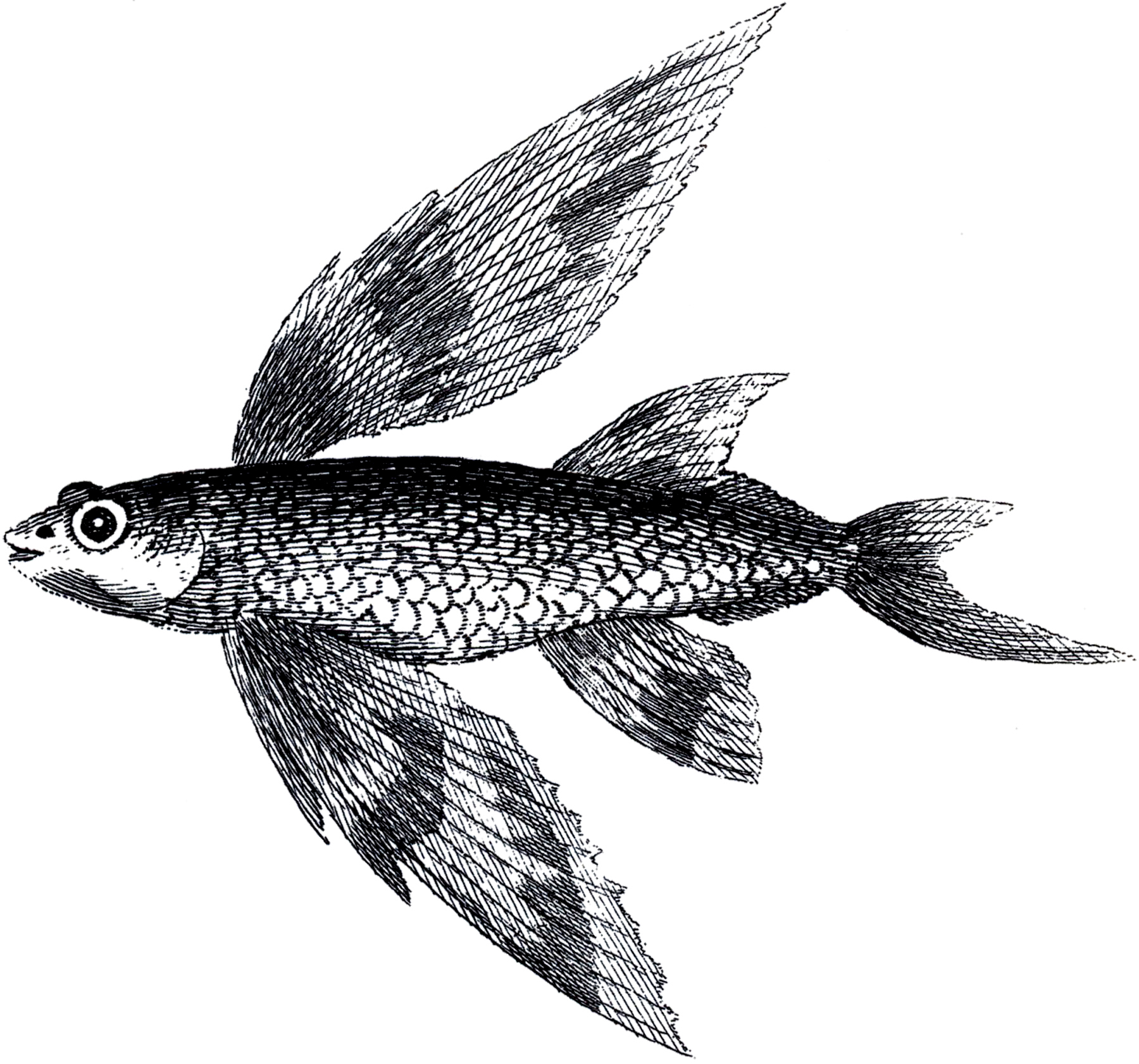 Vintage flying fish image the graphics fairy for Flying fish images