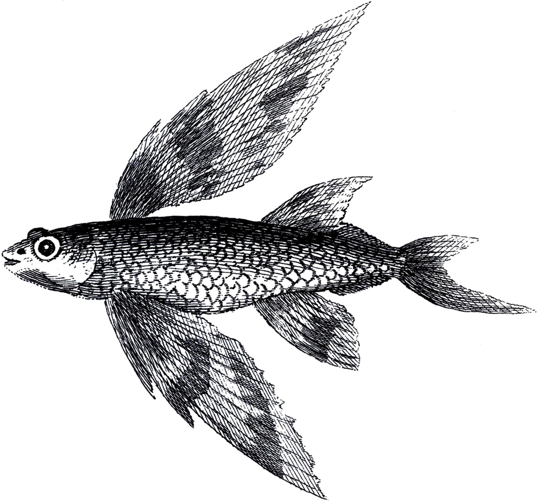 Vintage Flying Fish Image