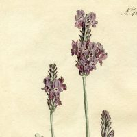 Free Lavender Botanical Print