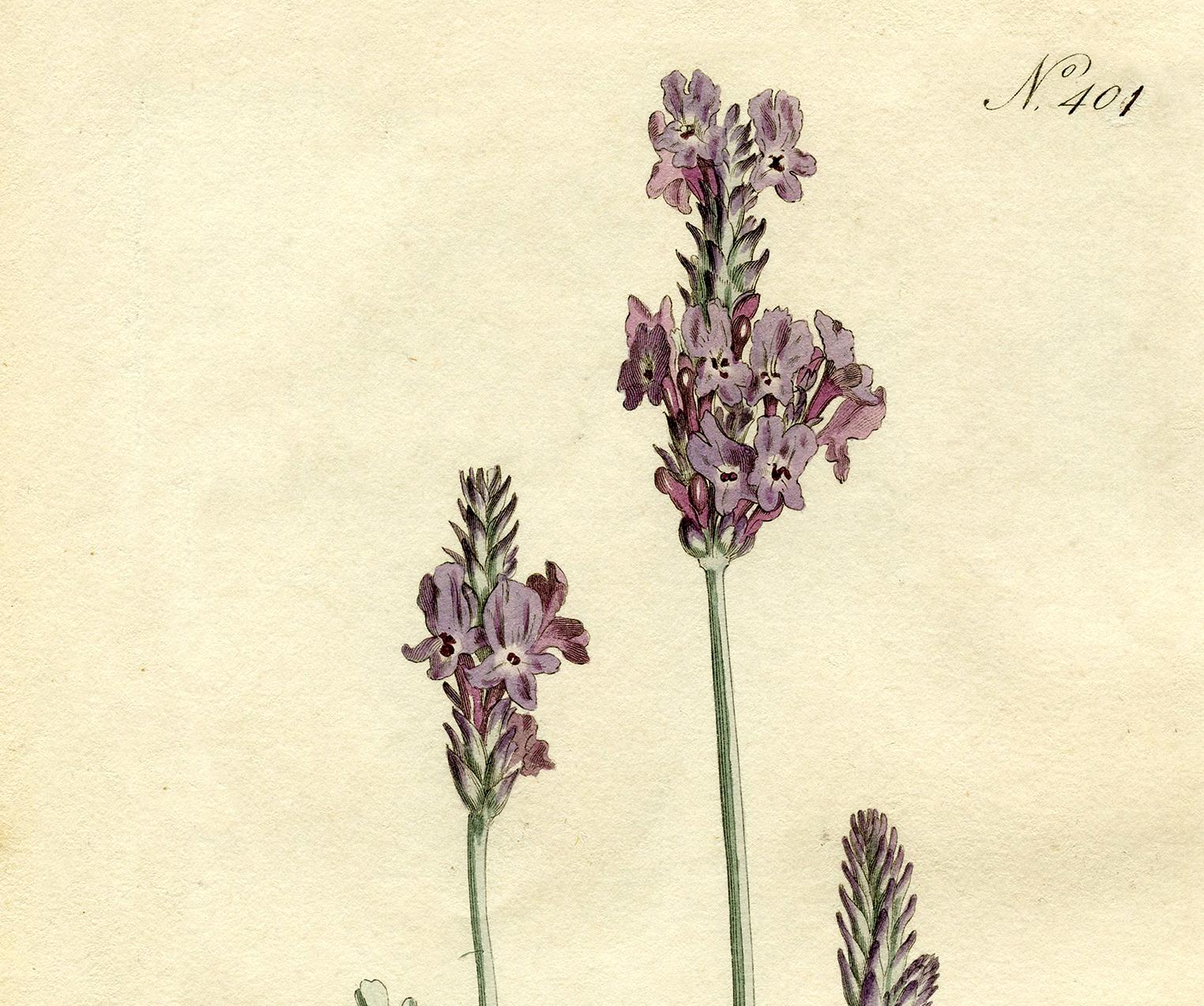 Free Lavender Botanical Print - The Graphics Fairy