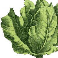Stock Lettuce Image