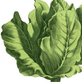 Stock Lettuce Image – Fresh and Lovely!