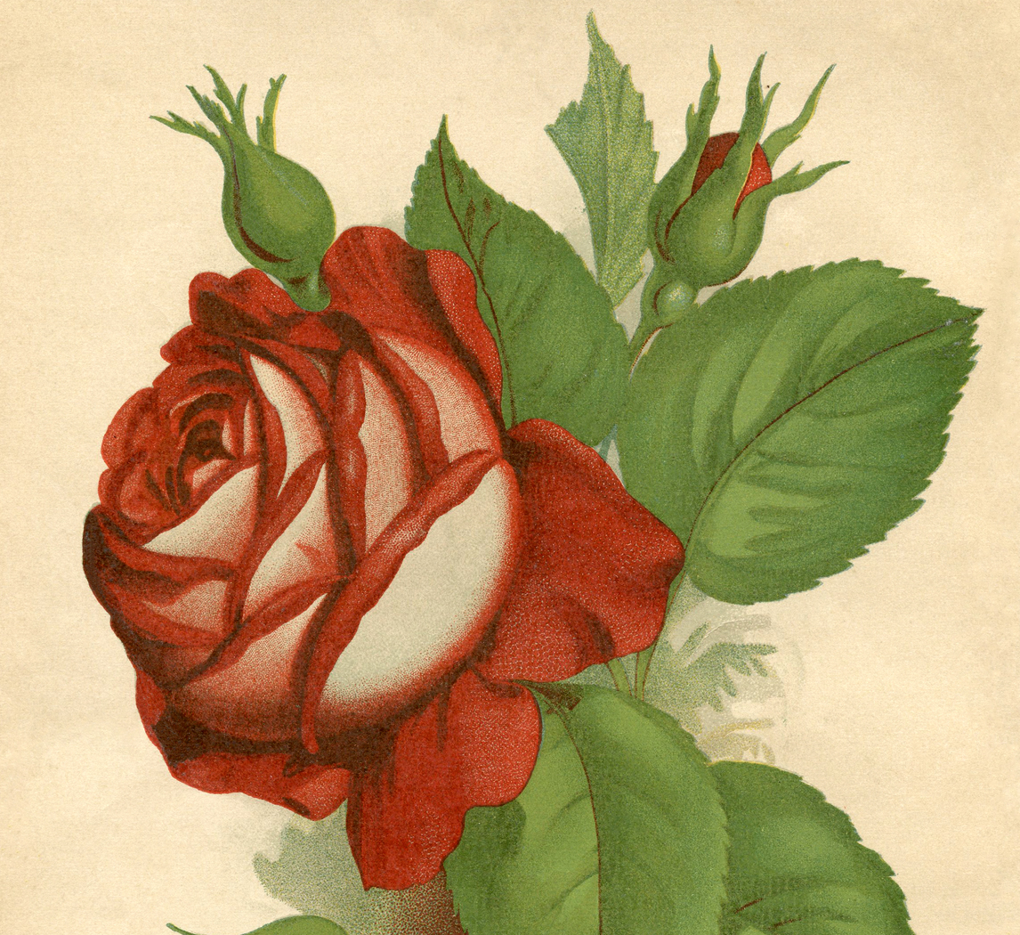 Red Rose Vintage Printable - The Graphics Fairy