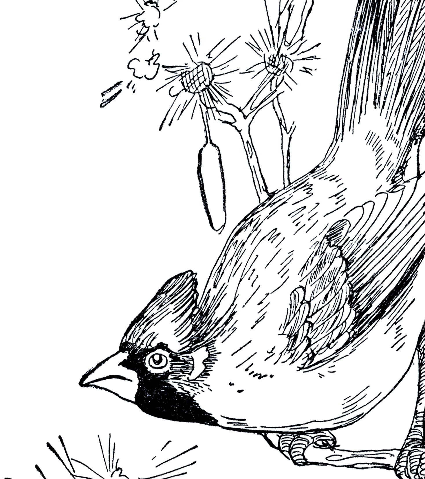 vintage cardinal drawing the graphics fairy