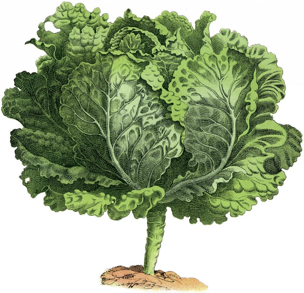 Vintage Garden Image Lettuce