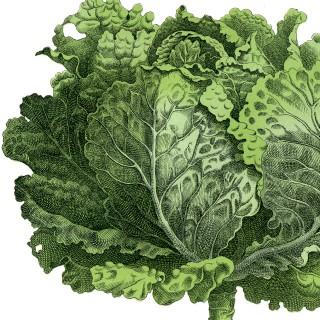 Vintage Garden Image – Lettuce