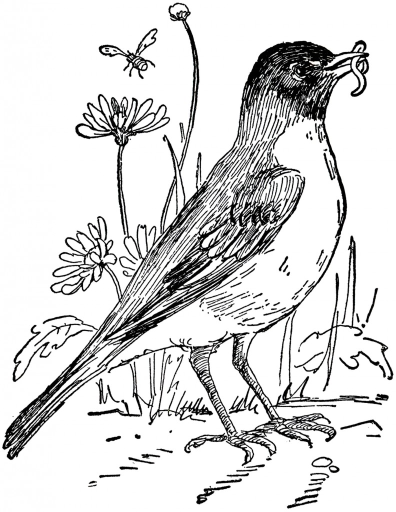 Clipart Of Birds Black And White: Vintage Robin Drawing