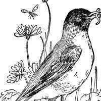 Vintage Robin Drawing
