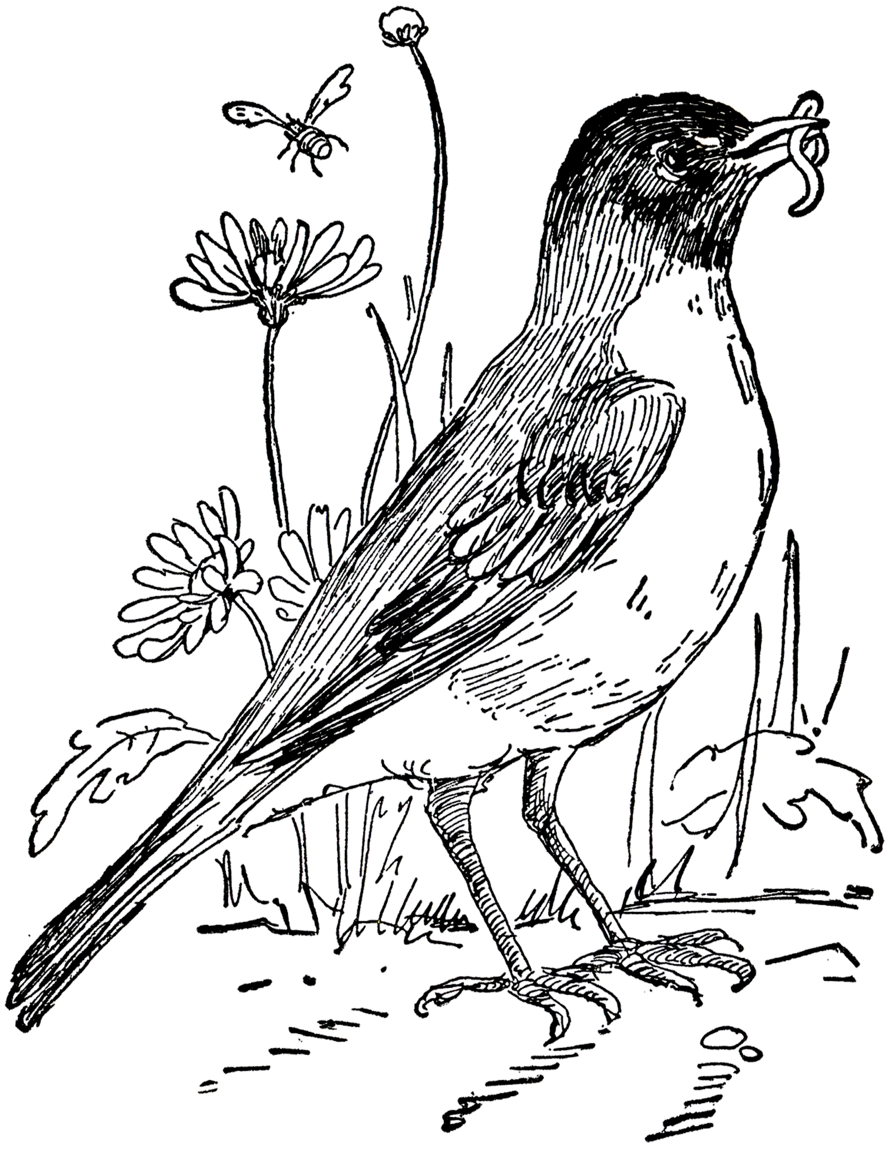 robin bird coloring pages - vintage robin drawing the graphics fairy