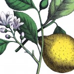 Botanical Lemon Image