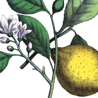 Fantastic Botanical Lemon Image!
