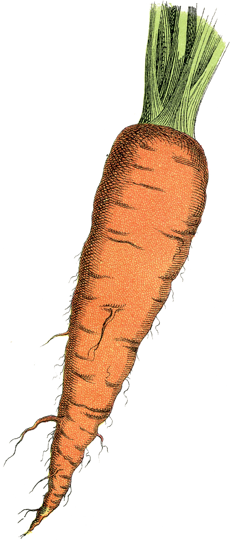 Free Carrot Image The Graphics Fairy