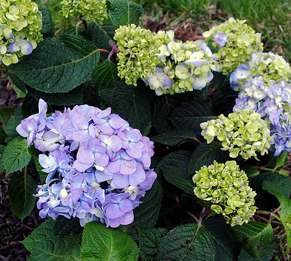 Bloomstruck Hydrangeas